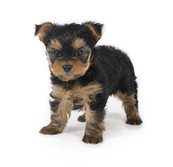 puppy on white background.