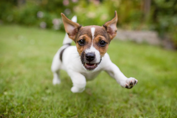 A very little puppy is running happily with floppy ears trough a garden with green grass