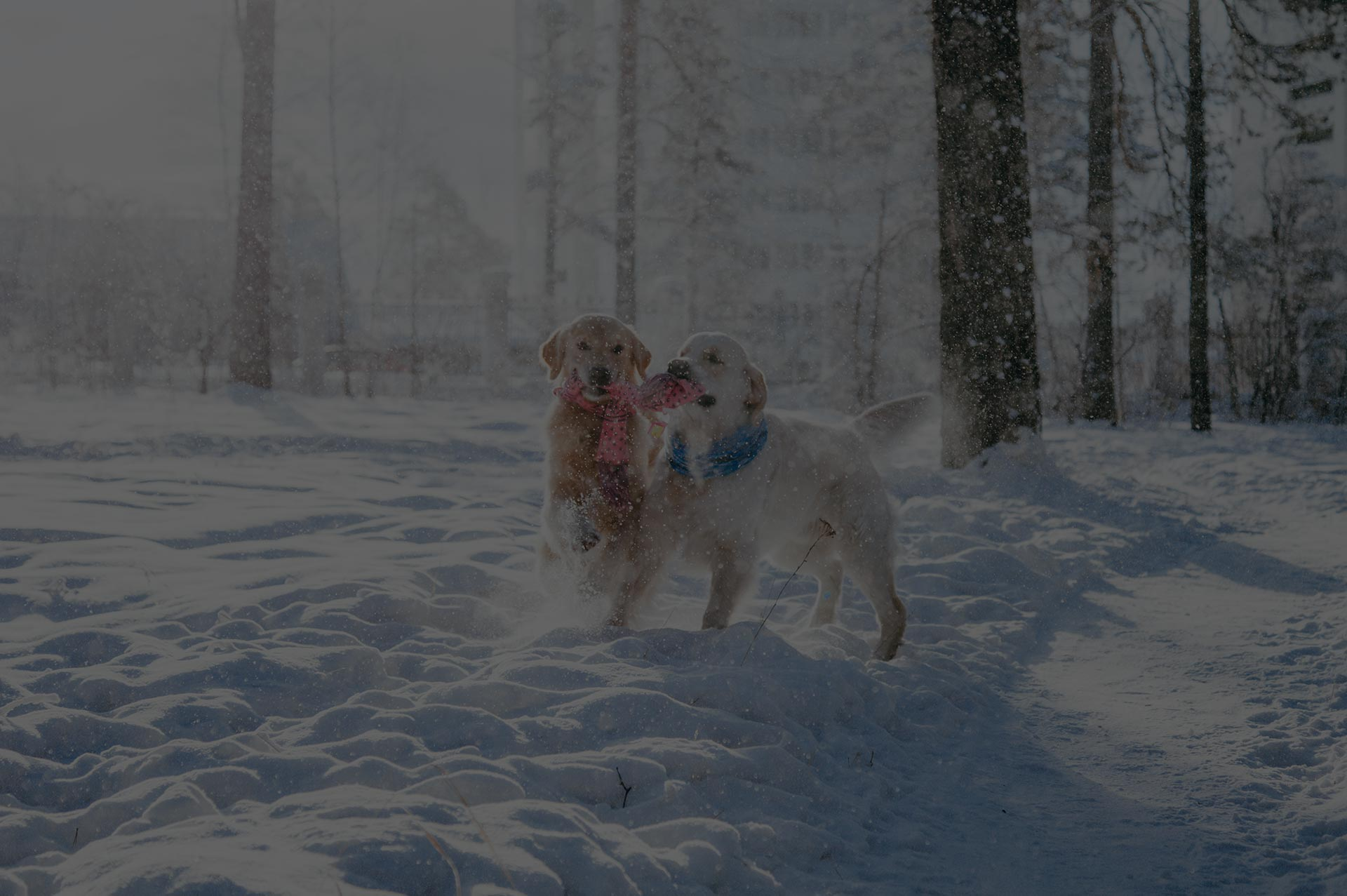 dogs playing on white snow